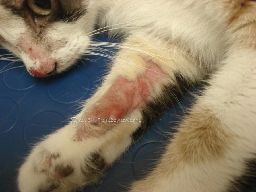 Δερματοφυτίαση σε γάτα